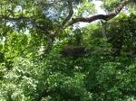 Rio Tempisque_Iguana 3